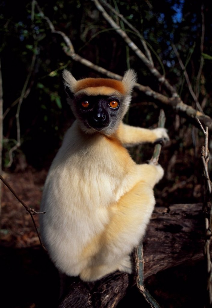Stock Photo: 1890-110732 Golden_crowned Sifaka Propithecus tattersalli, an endangered species, Daraina, Northern Madagascar, Africa