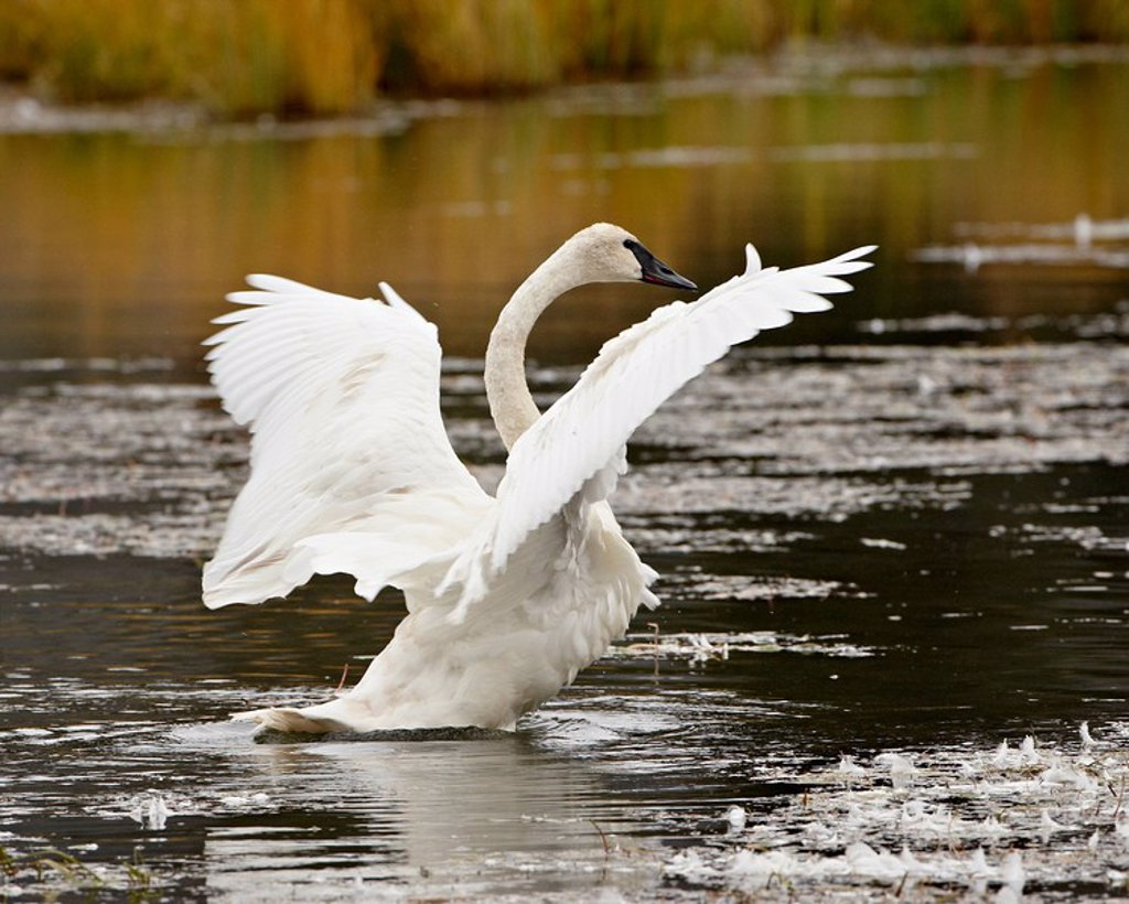 Stock Photo: 1890-110988 Trumpeter Swan Cygnus buccinator stretching its wings on a pond, Tok Cutoff, Alaska, United States of America, North America