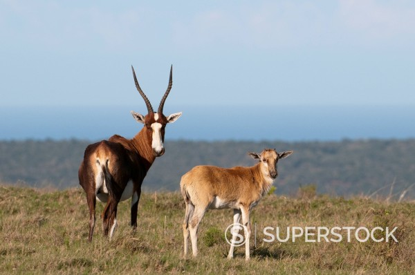 Stock Photo: 1890-111662 Blesbok Damaliscus dorcas, Kariega Game Reserve, South Africa, Africa