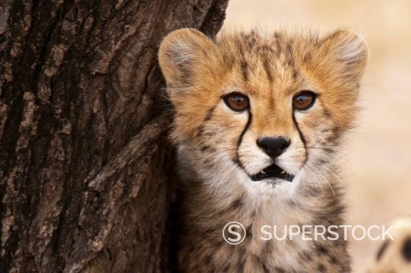 Stock Photo: 1890-112876 Cheetah Acinonyx jubatus cub, Masai Mara, Kenya, East Africa, Africa