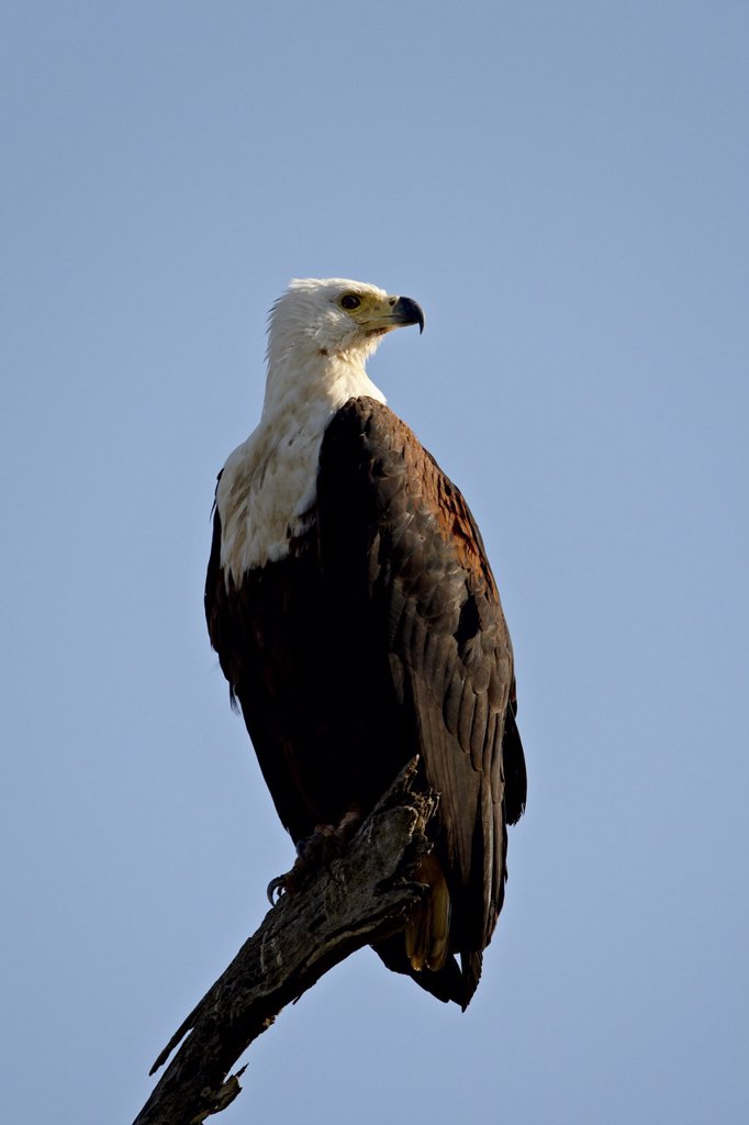 Stock Photo: 1890-113342 African Fish Eagle Haliaeetus vocifer, Kruger National Park, South Africa, Africa