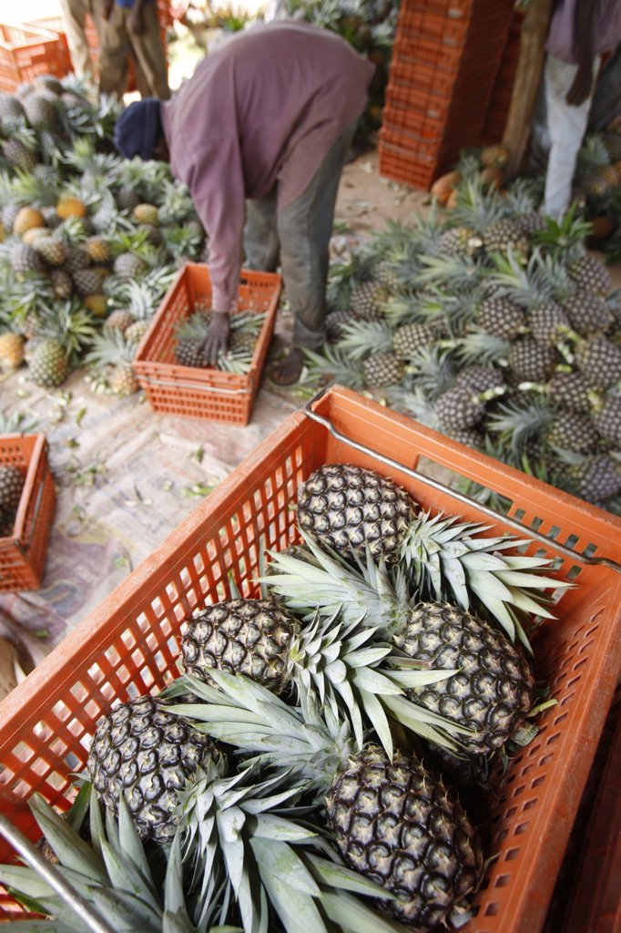 Pineapple production, Togo, West Africa, Africa : Stock Photo