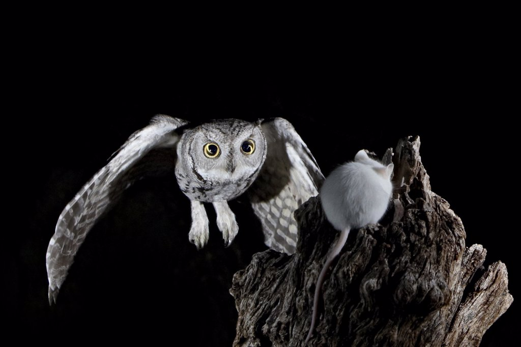 Stock Photo: 1890-114141 Western screech_owl Megascops kennicottii in flight, The Pond, Amado, Arizona, United States of America, North America