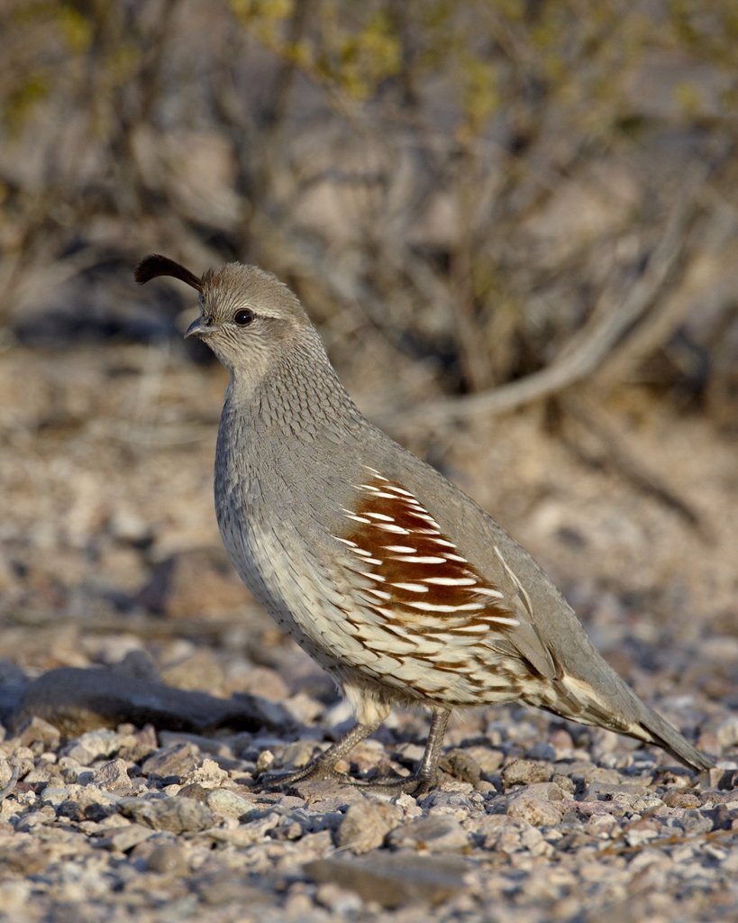 Female GambelÔøs quail Callipepla gambelii, Elephant Butte Lake State Park, New Mexico, United States of America, North America : Stock Photo