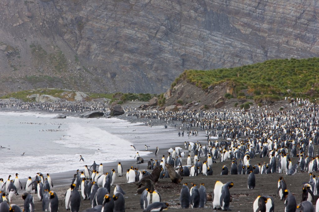 Stock Photo: 1890-115399 Colony of king penguins Aptenodytes patagonicus, Gold Harbour, South Georgia, Antarctic, Polar Regions
