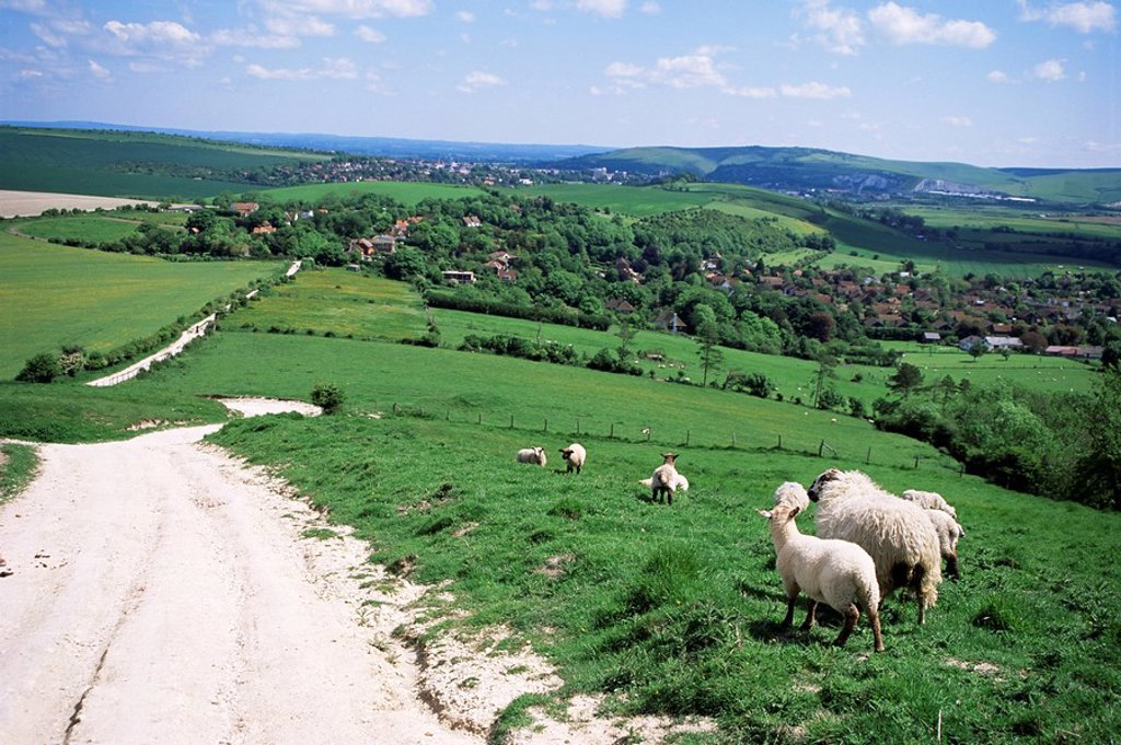 Stock Photo: 1890-11711 Sheep on the South Downs near Lewes, East Sussex, England, United Kingdom, Europe