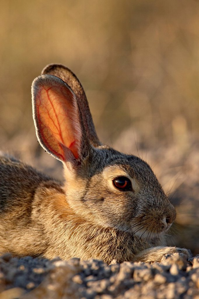 Stock Photo: 1890-117378 Desert cottontail Sylvilagus auduboni, Wind Cave National Park, South Dakota, United States of America, North America