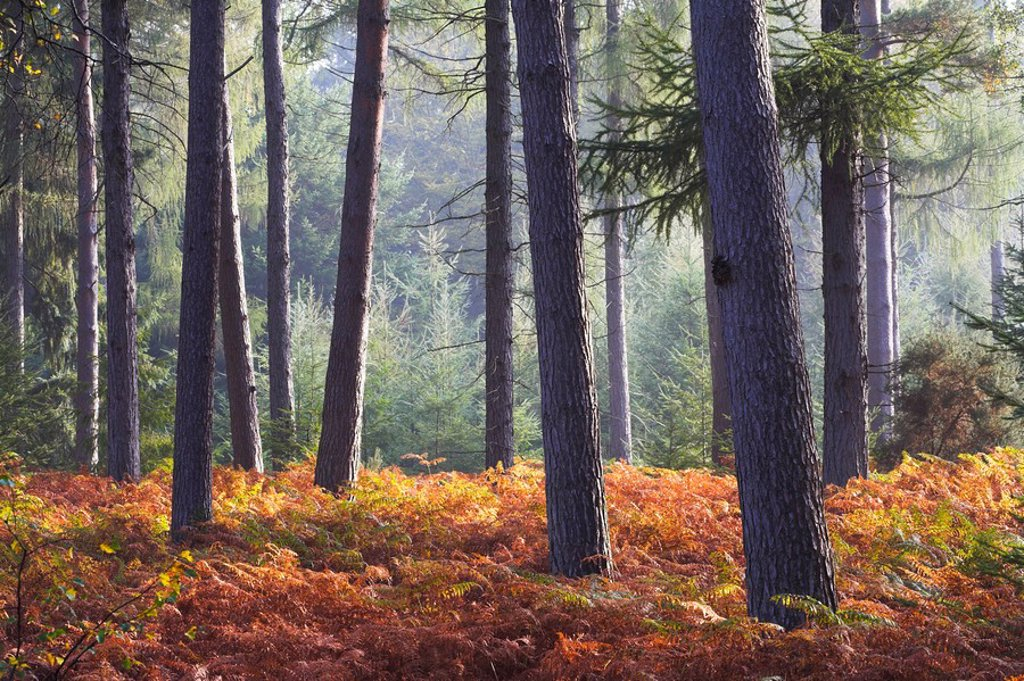 New Forest inclosure in Autumn, New Forest, Hampshire, England, United Kingdom, Europe : Stock Photo