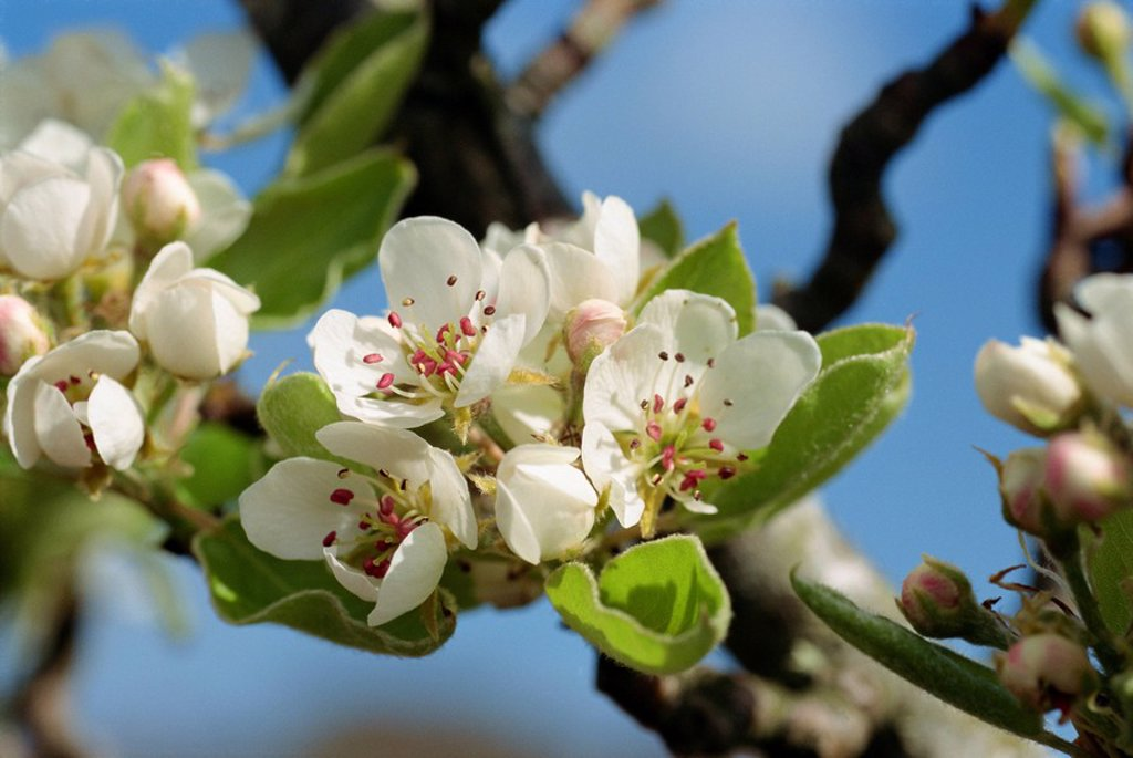 Wild pear tree blossom : Stock Photo