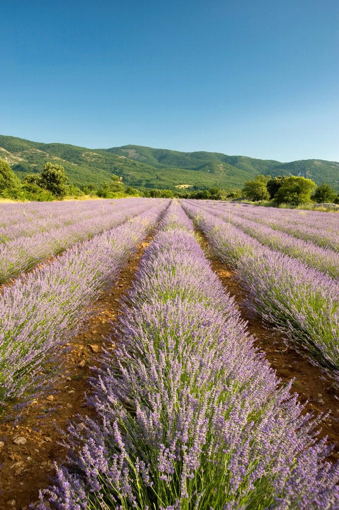 A field of lavender in Provence, France, Europe : Stock Photo