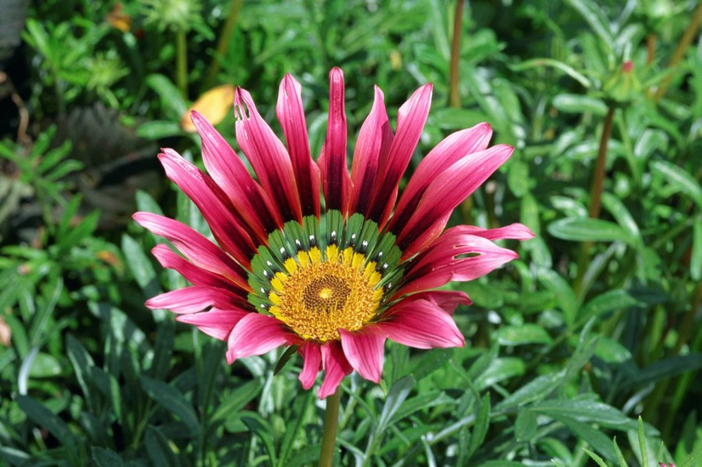 Stock Photo: 1890-11883 Close_up of a gazania flower, Suttons Hybrid, taken in August in Devon, England, Europe