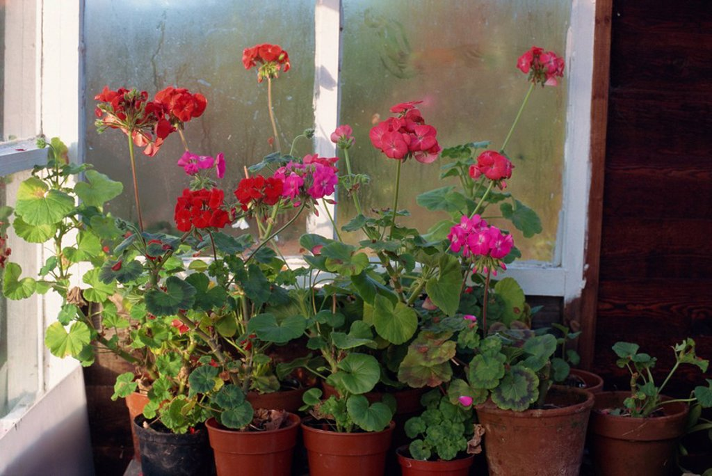 Geraniums growing in pots in a greenhouse to protect them from frost, England : Stock Photo