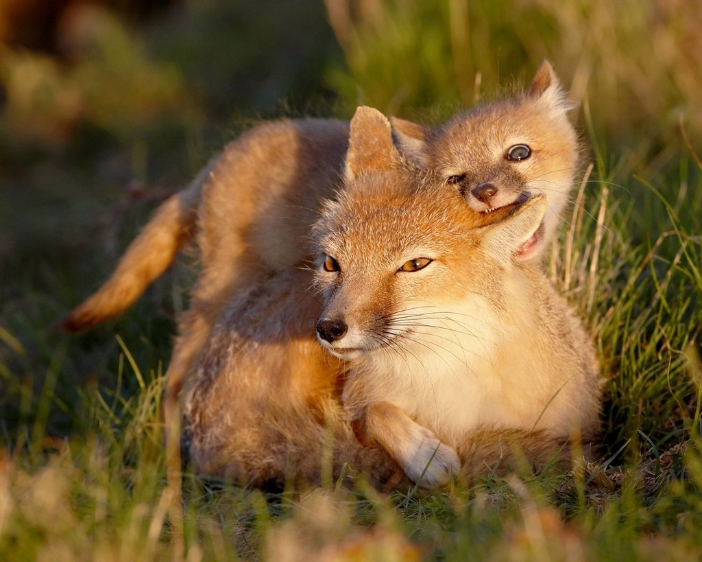 Stock Photo: 1890-119354 Swift fox Vulpes velox kit biting its mother´s ear, Pawnee National Grassland, Colorado, United States of America, North America