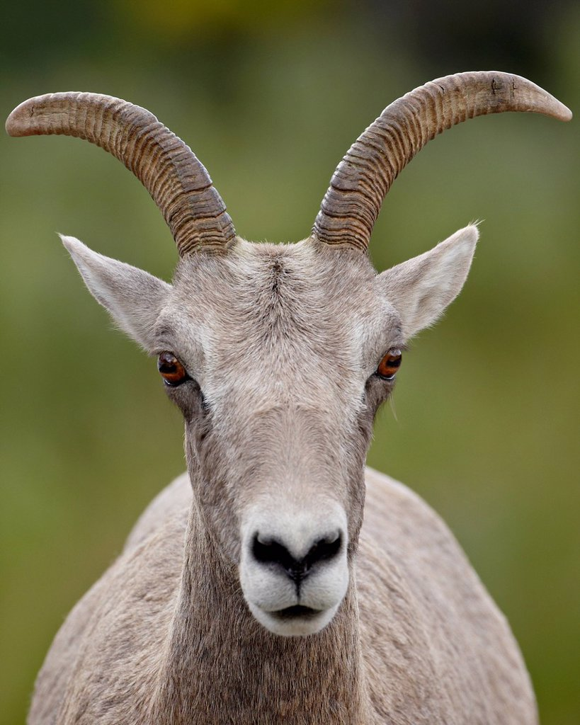 Stock Photo: 1890-119420 Bighorn sheep Ovis canadensis ewe, Waterton Lakes National Park, Alberta, Canada, North America