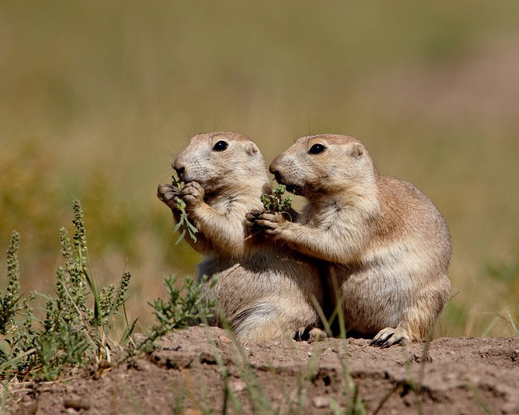 Two blacktail prairie dog Cynomys ludovicianus eating, Wind Cave National Park, South Dakota, United States of America, North America : Stock Photo