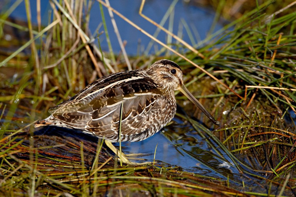 Stock Photo: 1890-119471 Common snipe Gallinago gallinago, Arapaho National Wildlife Refuge, Colorado, United States of America, North America