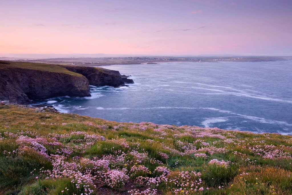Stock Photo: 1890-120276 Pink Sea Thrift wildflowers flowering on the clifftops at Trevose Head, Cornwall, England, United Kingdom, Europe