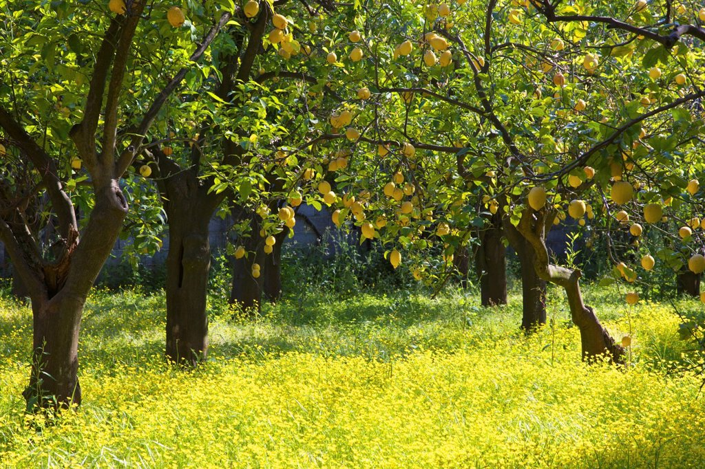 Stock Photo: 1890-122027 Lemons growing on trees in grove, Sorrento, Campania, Italy, Europe