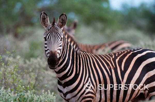 Stock Photo: 1890-122714 Grant´s zebra Equus quagga boehmi, Lualenyi Game Reserve, Kenya, East Africa, Africa