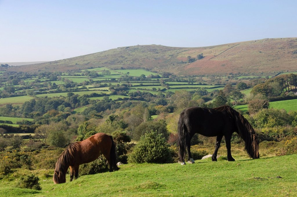 Stock Photo: 1890-125292 Ponies grazing on Dartmoor, Dartmoor National Park, Devon, England, United Kingdom, Europe