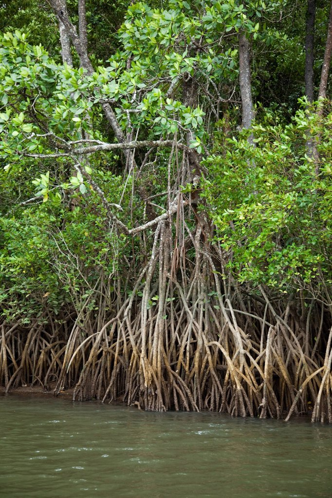Mangroves, Port Douglas, Queensland, Australia, Pacific : Stock Photo