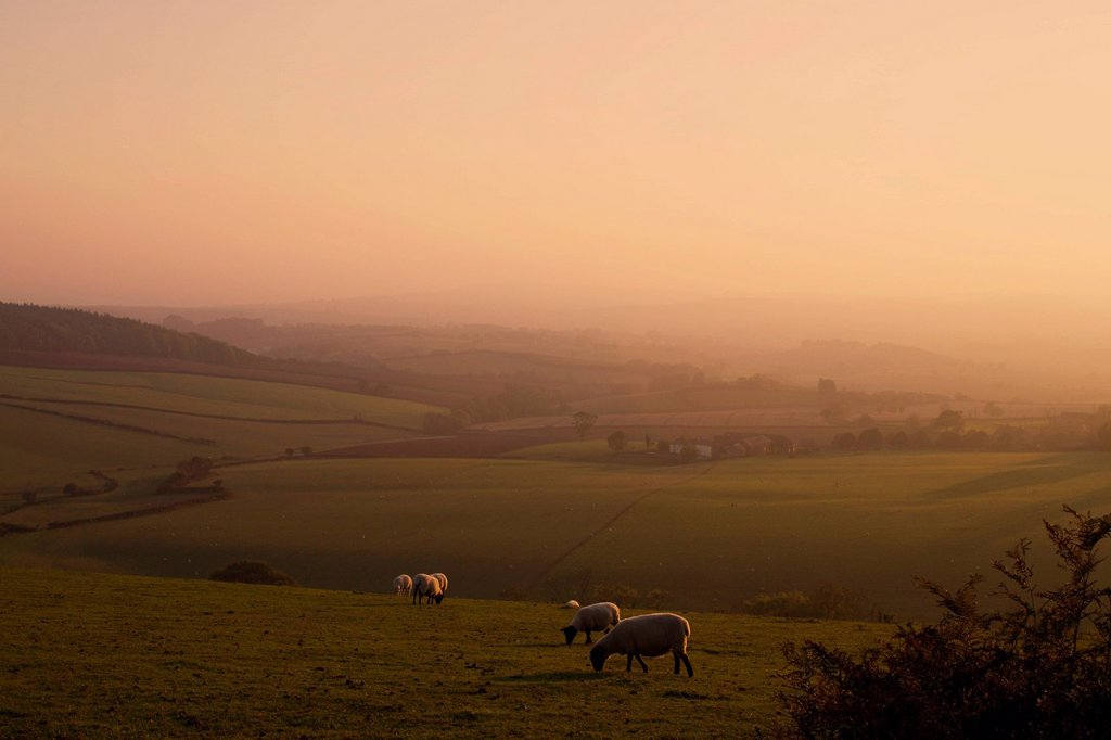 Sheep at sunset, near Sidmouth, Devon, England, United Kingdom, Europe : Stock Photo