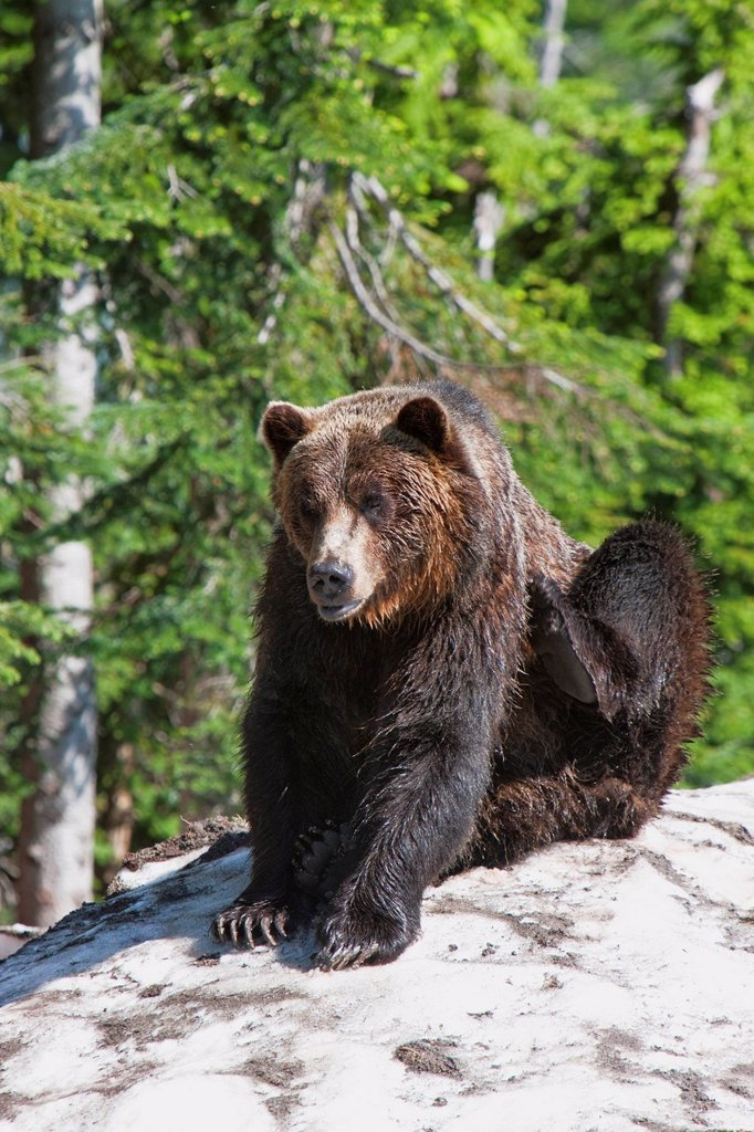 Stock Photo: 1890-126572 Grizzly bear scratching on ice at the top of Grouse Mountain, Vancouver, British Columbia, Canada, North America