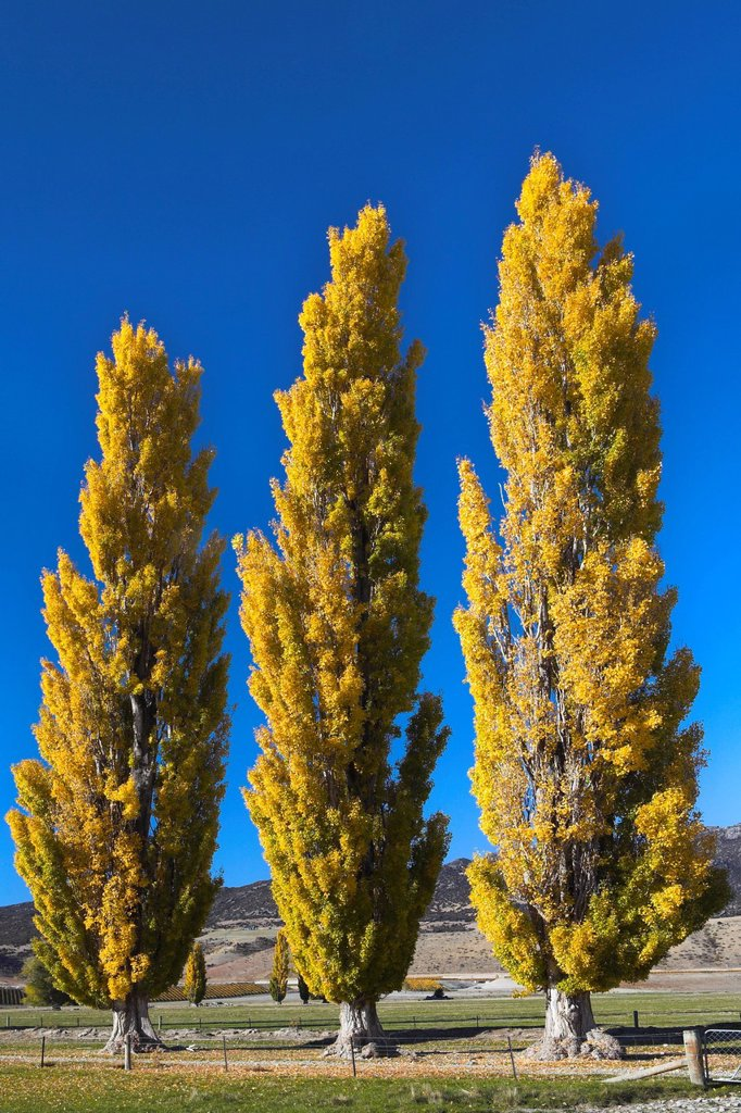 Autumn foliage in the Otago countryside near Cromwell, Otago, South Island, New Zealand, Pacific : Stock Photo