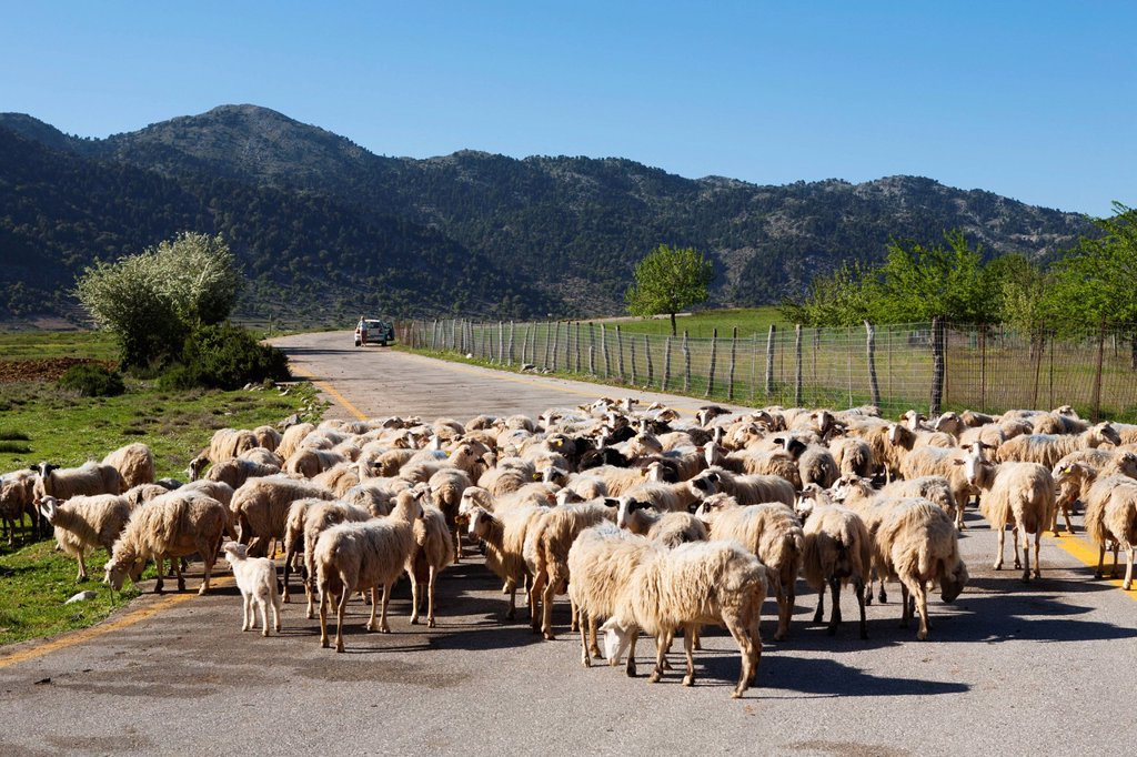 Sheep on road, Omalos Plain, Chania region, Crete, Greek Islands, Greece, Europe : Stock Photo