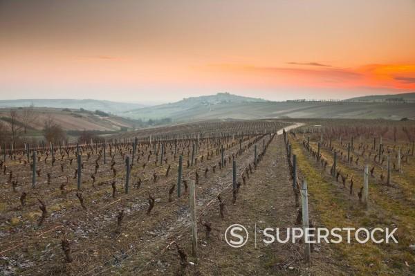 Vineyards, Sancerre, Cher, Loire Valley, Centre, France, Europe : Stock Photo