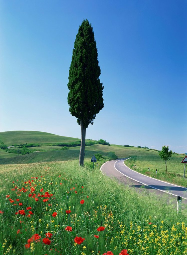 Winding road through typical landscape and a single cypress tree near Volterra in Tuscany, Italy, Europe : Stock Photo