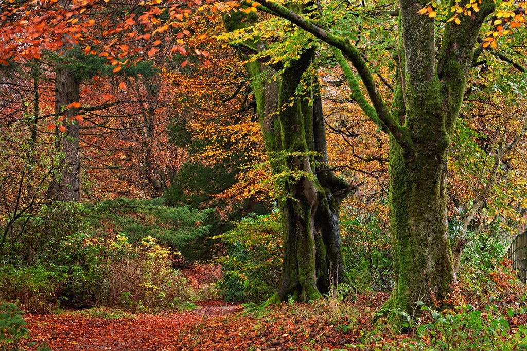 Stock Photo: 1890-131539 Woodland in fine display of autumn colour, Lake District, Cumbria, England, United Kingdom, Europe