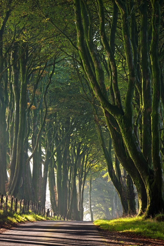 Stock Photo: 1890-131743 Majestic tree lined lane on a misty autumn morning, Dartmoor, Devon, England, United Kingdom, Europe