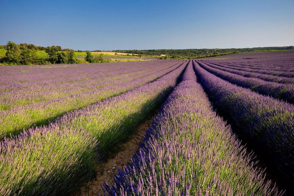 Stock Photo: 1890-132483 Lavender fields, Provence, France, Europe