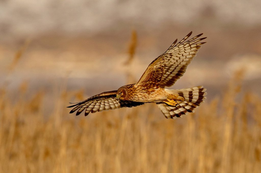 Female northern harrier Circus cyaneus in flight while hunting, Farmington Bay, Utah, United States of America, North America : Stock Photo