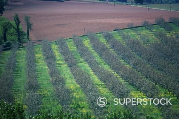 Walnut trees, Dordogne, France, Europe : Stock Photo