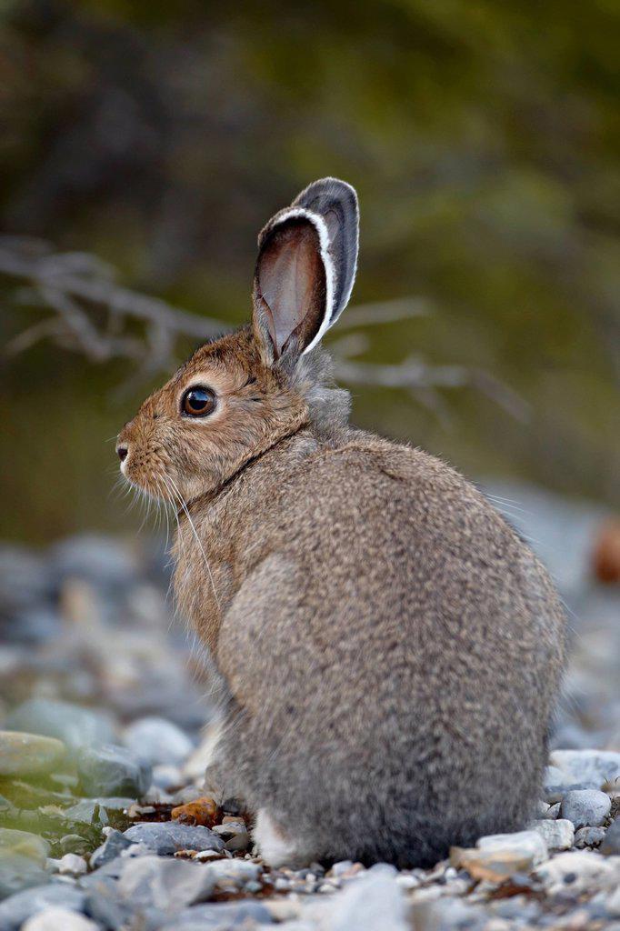 Snowshoe hare Lepus americanus, Banff National Park, Alberta, Canada, North America : Stock Photo