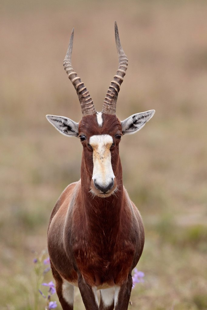Stock Photo: 1890-136080 Blesbok Damaliscus pygargus phillipsi, Mountain Zebra National Park, South Africa, Africa