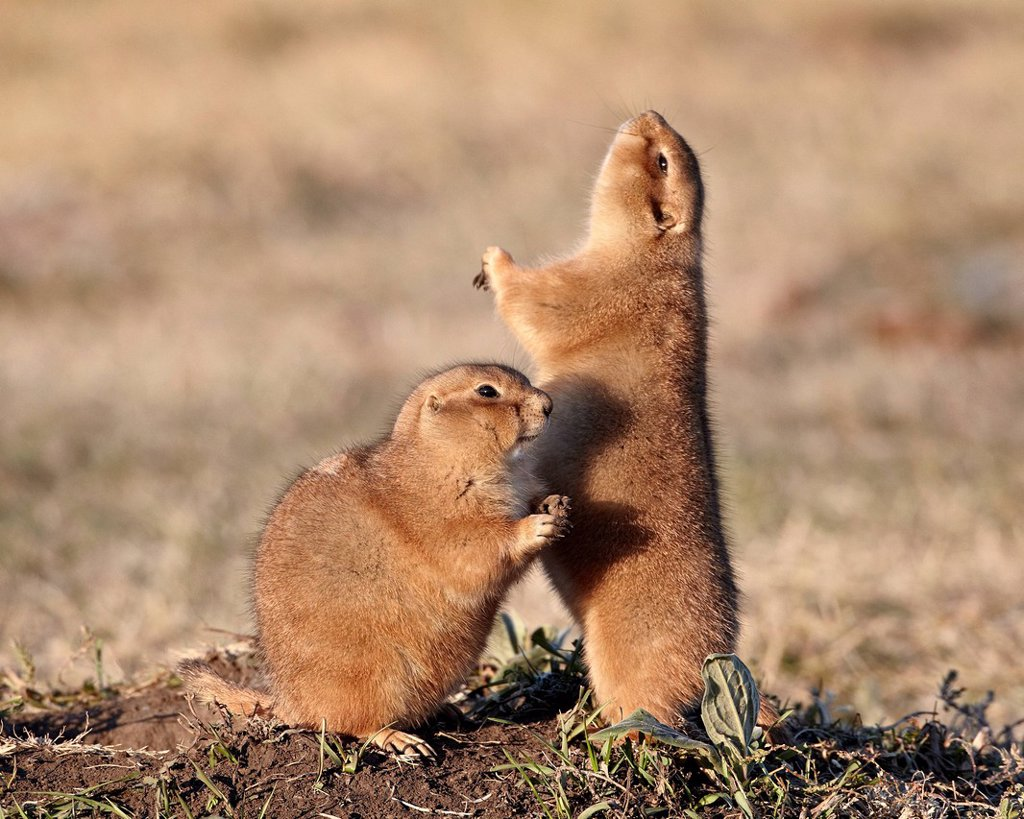 Two black_tailed prairie dog blacktail prairie dog Cynomys ludovicianus with one calling, Custer State Park, South Dakota, United States of America, North America : Stock Photo