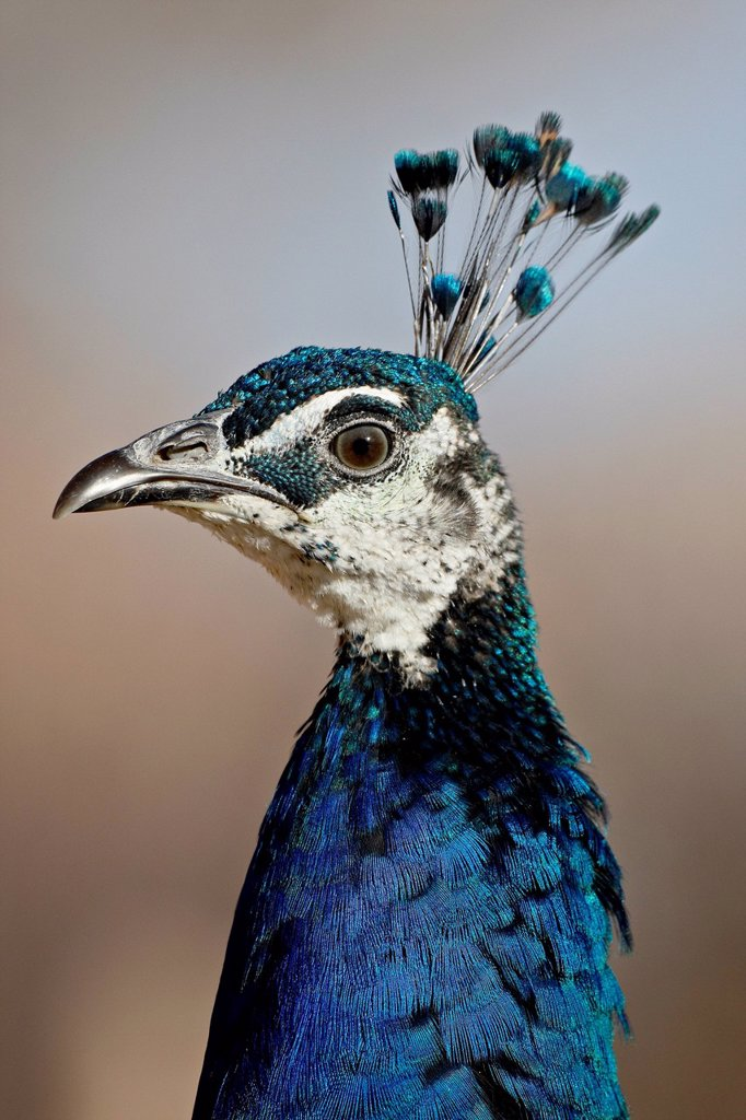 Stock Photo: 1890-136374 Indian peafowl Pavo cristatus cock, Rio Grande Zoo, Albuquerque Biological Park, Albuquerque, New Mexico, United States of America, North America