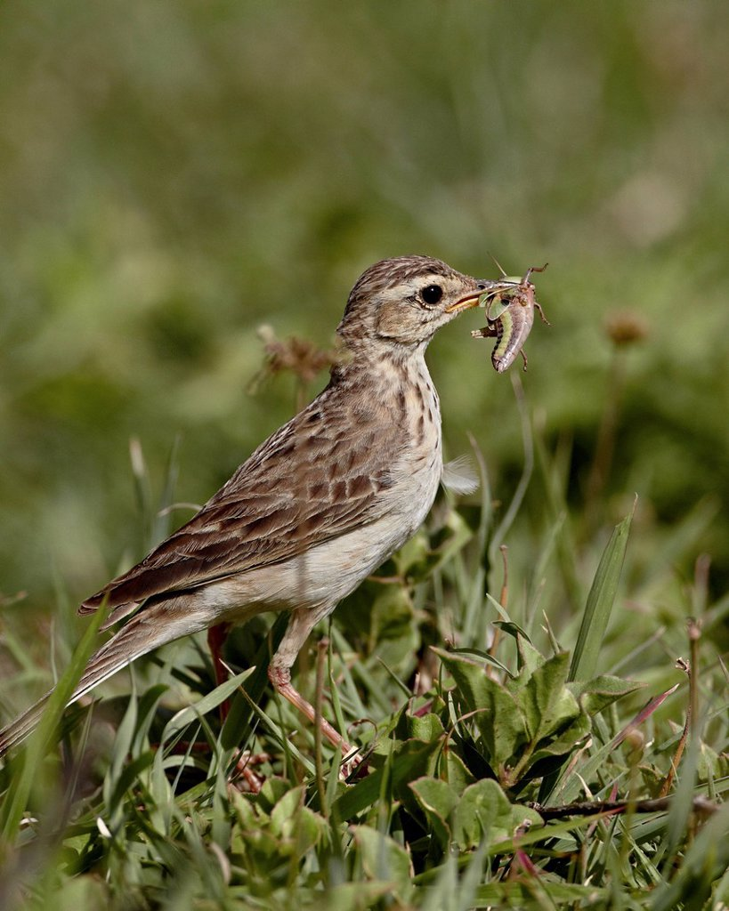 African pipit grassland pipit grassveld pipit Anthus cinnamomeus with a grasshopper, Ngorongoro Crater, Tanzania, East Africa, Africa : Stock Photo