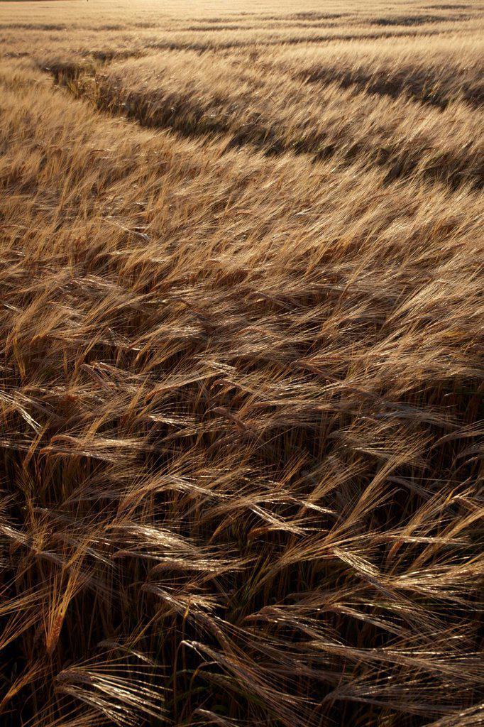 Summer evening light on a barley field near Fakenham, Norfolk, England, United Kingdom, Europe : Stock Photo