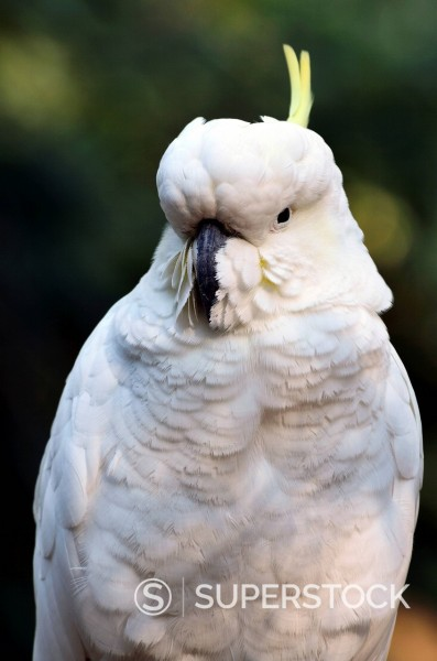 Sulphur_crested Cockatoo Cacatua galerita, Dandenong Ranges National Park, Dandenong Ranges, Victoria, Australia, Pacific : Stock Photo