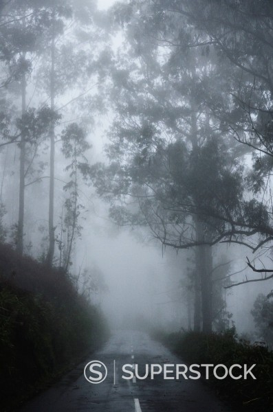 Stock Photo: 1890-139156 Forest in fog, near Achadas da Cruz, Madeira, Atlantic Ocean, Portugal, Europe