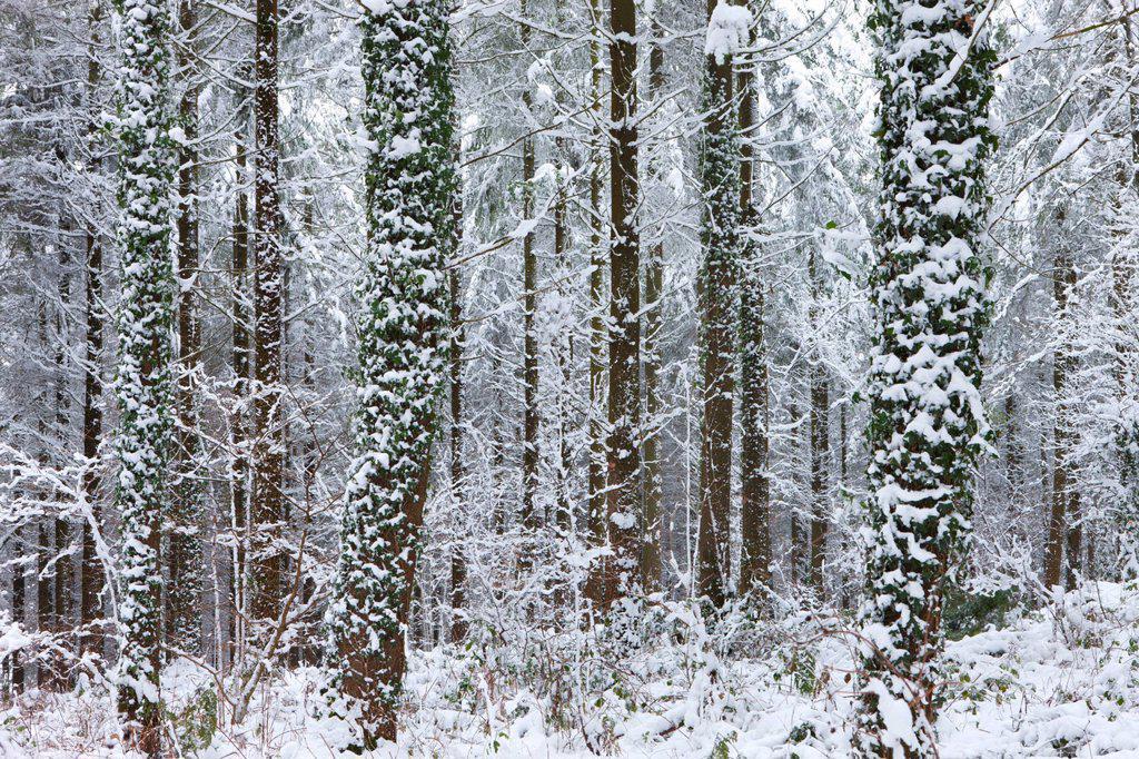 Snow covered winter woodland scene, Morchard Bishop, Devon, England, United Kingdom, Europe : Stock Photo