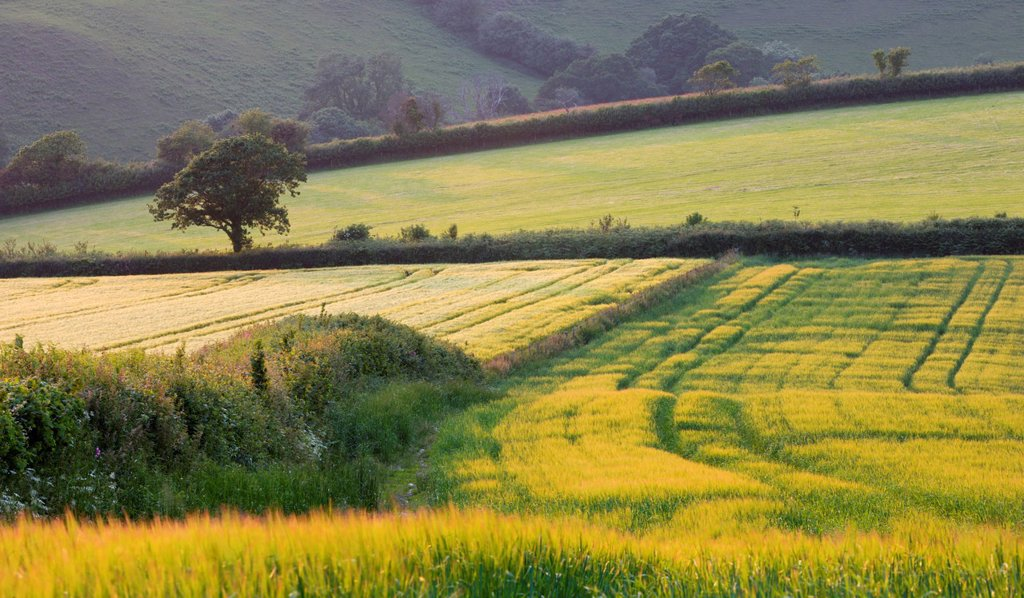 Stock Photo: 1890-139749 Golden crop fields in summer near Lanteglos in South Cornwall, England, United Kingdom, Europe