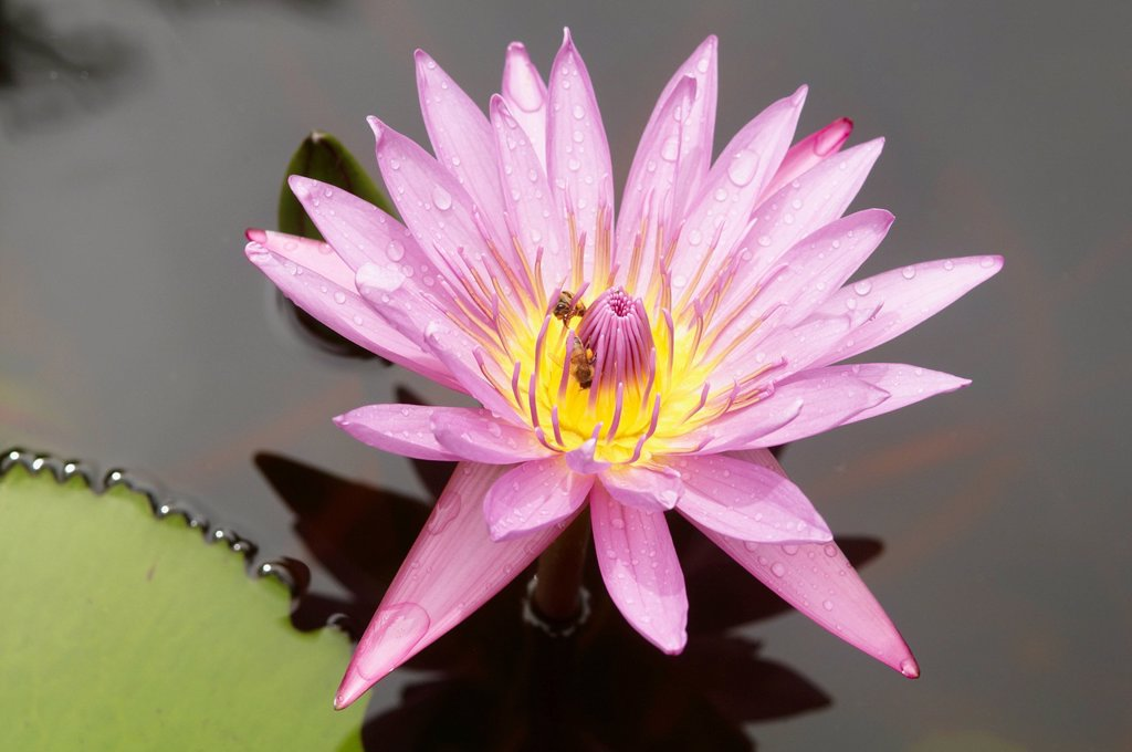 Lotus flower, Balata Garden, Martinique, French Overseas Department, Windward Islands, West Indies, Caribbean, Central America : Stock Photo
