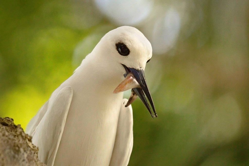Stock Photo: 1890-140920 Adult white tern Gygis alba with squid in its beak, Lord Howe Island, UNESCO World Heritage Site, New South Wales, Australia, Pacific