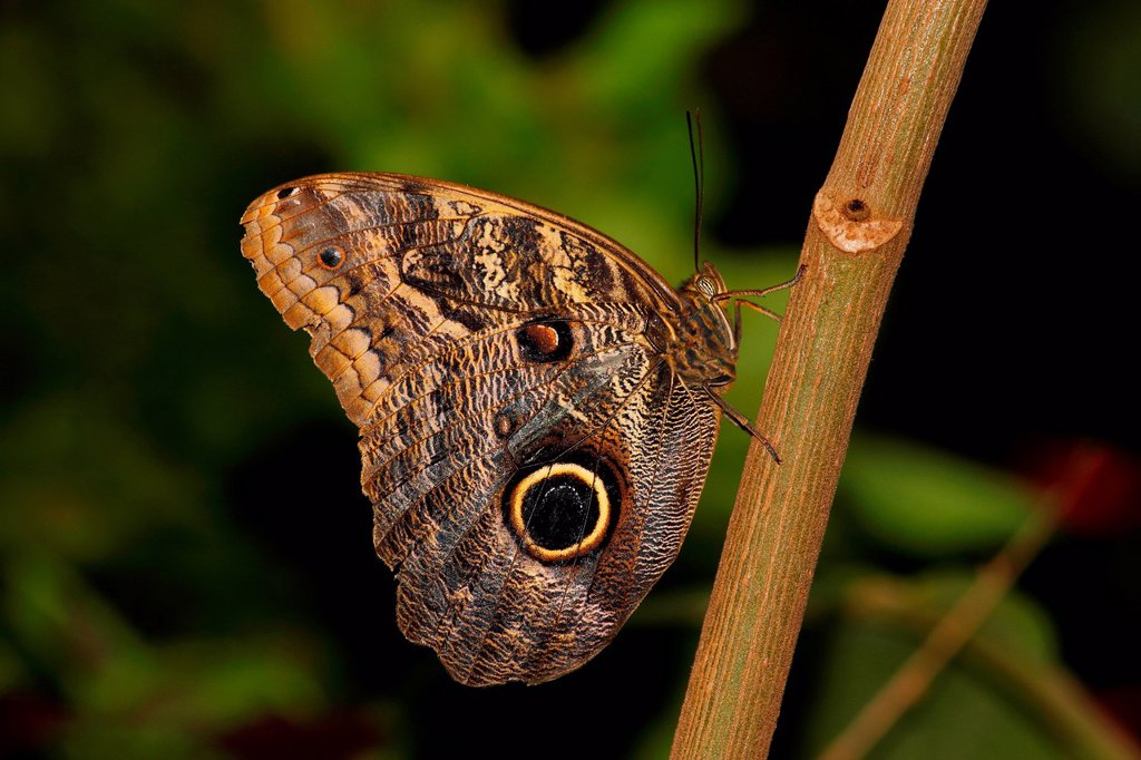 Stock Photo: 1890-143250 Butterflies in the genus Caligo are commonly called owl butterflies, after their huge eyespots which resemble owls´ eyes