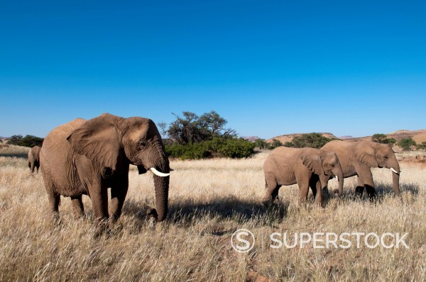 Desert elephants Loxodonta africana, Huab River Valley, Torra Conservancy, Damaraland, Namibia, Africa : Stock Photo
